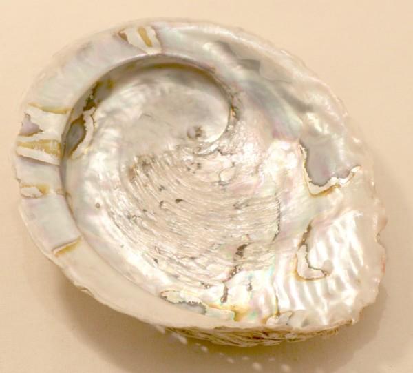 Paua Muschel